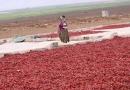 La récolte des piments