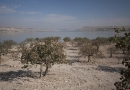 Les oliveraies de Zeugma au bord de l'Euphrate