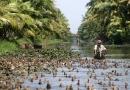 Berger de canards