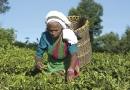 Cueilleuse de thé à Botakanda