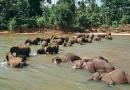 Orphelinat des éléphants à Pinnawela