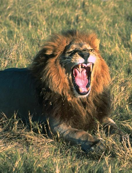 Lion Okavango