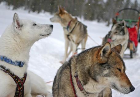 Huskies à l'arrêt