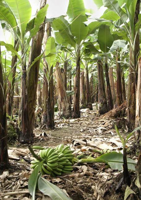Forêt de bananiers