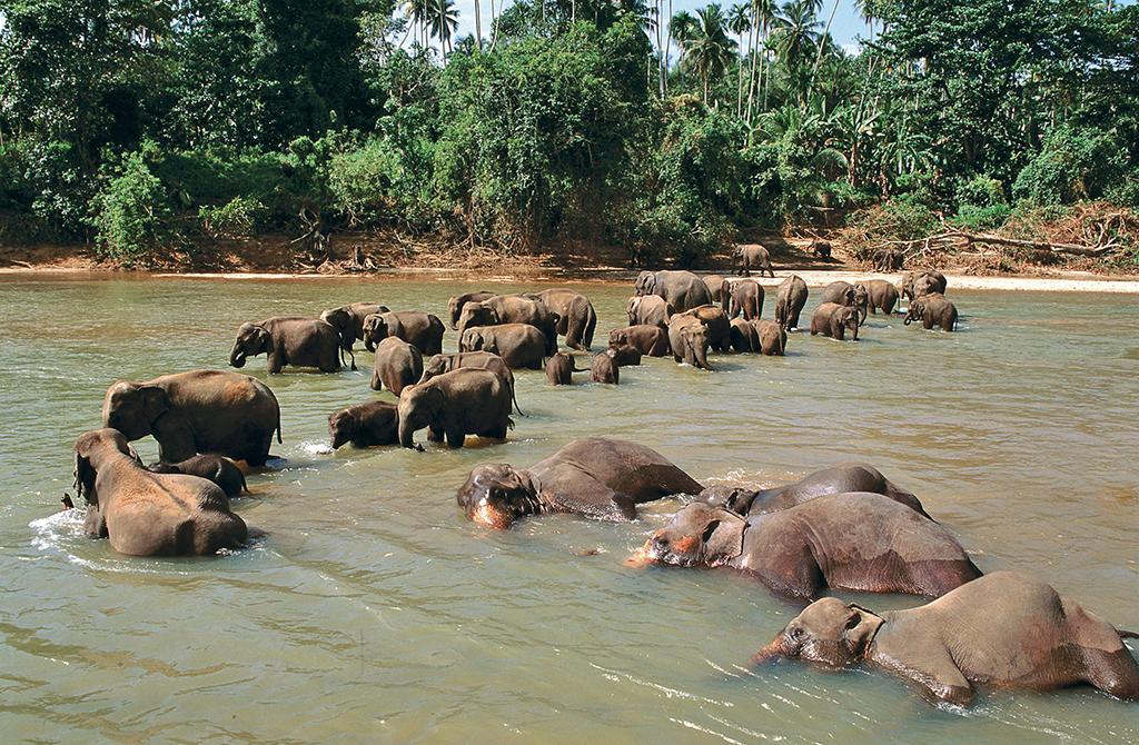 Sri Lanka - Pinnawela - Orphelinat des éléphants