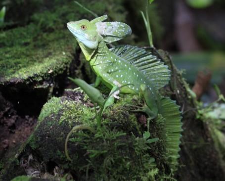 Basilic vert femelle