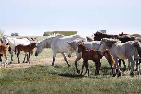 Chevaux dans la steppe, KAZAKHSTAN