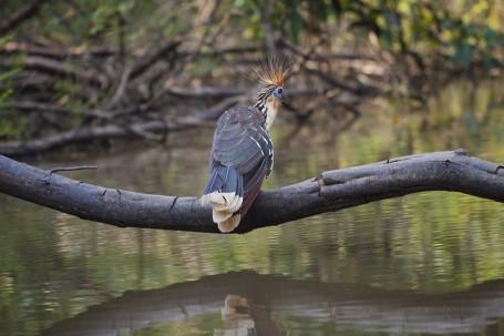 Hoatzin huppé - Pérou